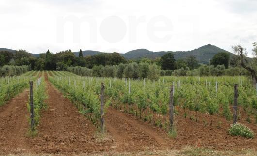 bolgheri vineyard