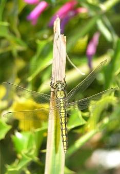 Dragonfly climb