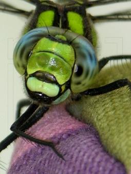 Dragonfly eyes