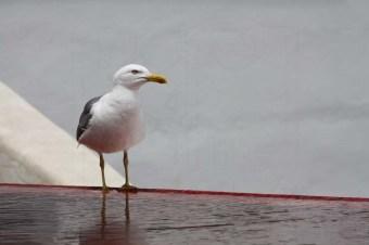 Lisbon Gull