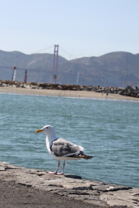 Golden Gate Gull