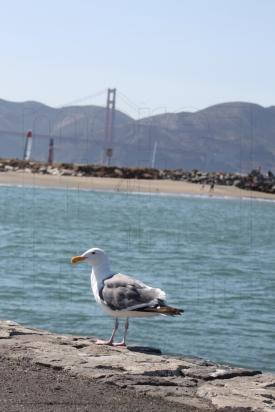Golden Gate Gull